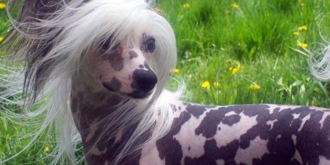 Aprende aquí algunas cosas que deberás tener en cuenta para poder cuidar un perro hipoalergénico. Clic Aquí>>> http://sobreperrosygatos.com/cuidar-un-perro-hipoalergenico/