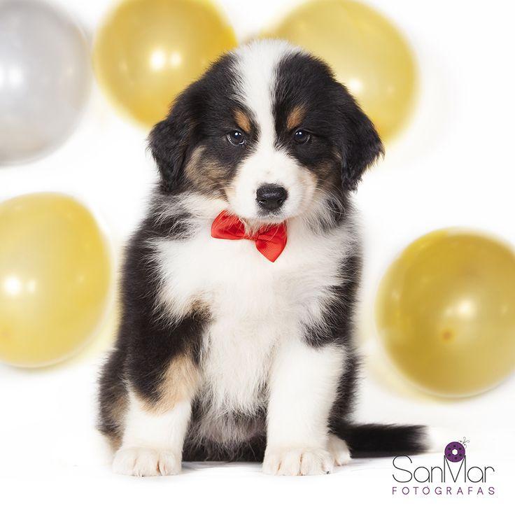 Cachorro de Pastor Australiano listo para la fiesta