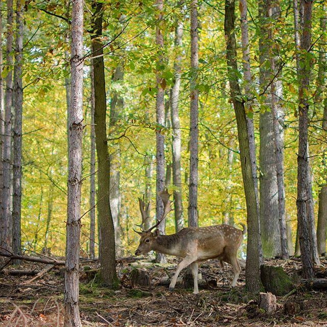 Hello 🦌 #oboraholedna #brno #danek #fallowdeer #beautifulnature #autumn #fall #falllover