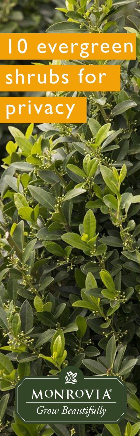495 best trees shrubs images on pinterest landscaping for Tall evergreen shrubs