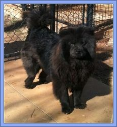 You should can see my chow mix in this dog!