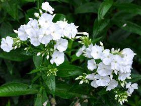 Den hvide høstfloks 'David' får sjældent meldug - og den blomstrer meget længe        Hvis du er så heldig at have masser af høs...