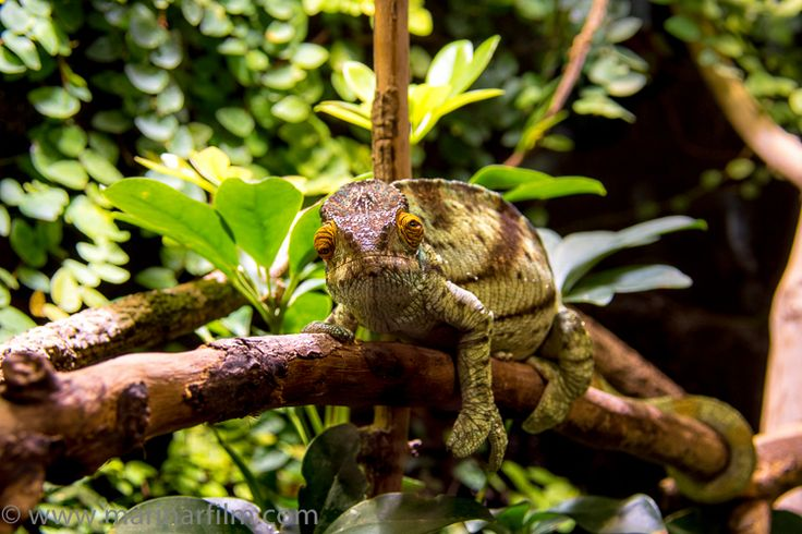"""""""I can't go back to yesterday because I was a different person then."""" - Lewis Carroll, """"Alice in Wonderland"""" #inspirationalphotography #artphotography #inspirationalquotes #inspirationalquote #loveanimals #tropicalforest #chameleon #protectanimals #aliceinwonderland #lewiscarroll #funnyanimals #lovechameleons #animalphotography"""