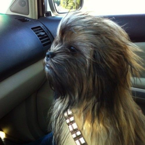 Chewbacca dog...