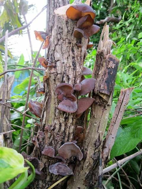 Elephant Ear Mushrooms