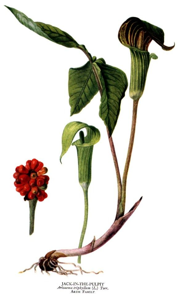 Jack in the Pulpit Wildflower Native Plant 8x10 Archival Print