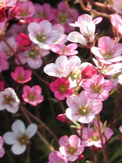 Saxifraga Arendsii-Hybride 'Blütenteppich' - Moos-Steinbrech
