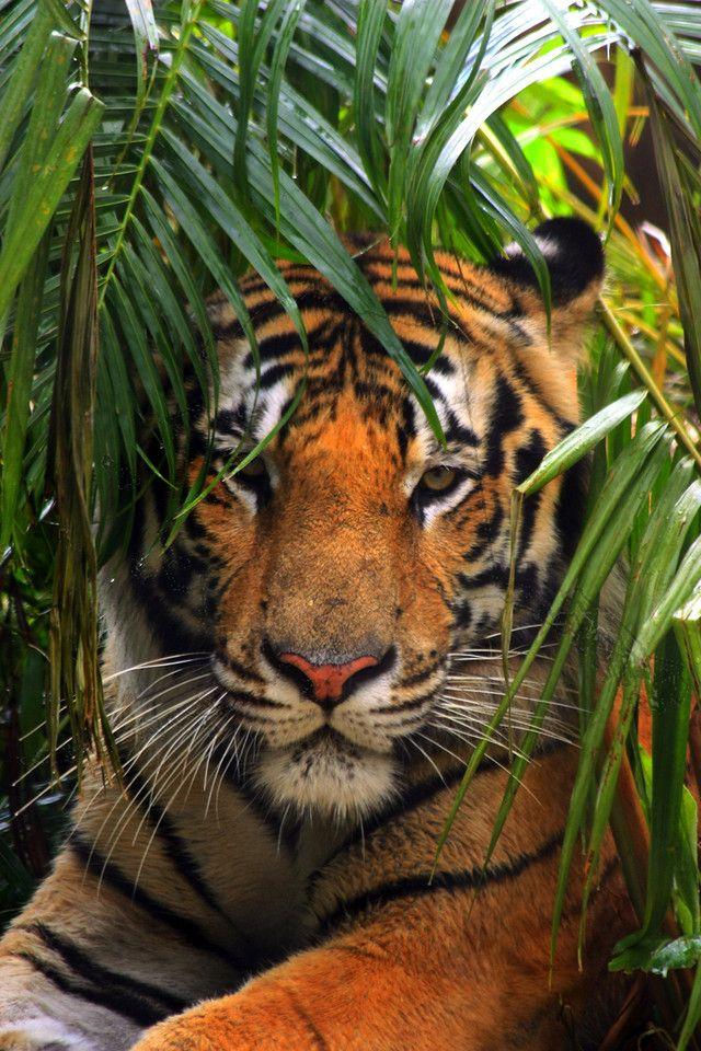 A nice pic of a tiger @ Bush Gardens Florida