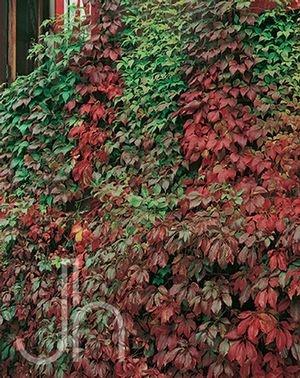 Parthenocissus quinquefolia ()