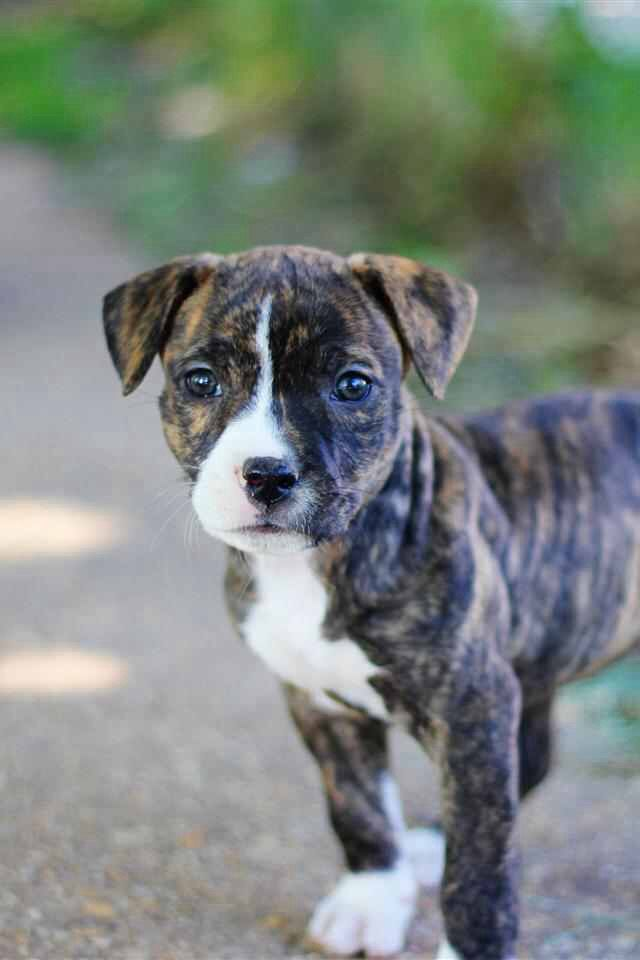 Adorable pitbull puppy. I adopted Shorty when he was 2, but, I'm guessing this is what he looked like as a pup. I miss my Shorty Boy so much!!