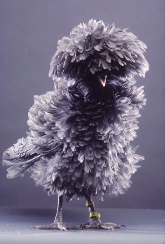 Polish frizzle blue. This reminds me of the bird puppet that sings in We Sing in Sillyville haha (I reposted this solely for the comment written above... does anyone else remember this movie!?)