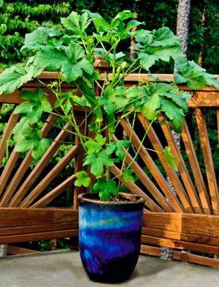 growing okra in pots