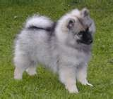 Angus is Keeshond: Keeshond Puppies, Dogs Dogs, Puppies Pictures, Wolfsspitz Keeshond, Adorable Kee, Dogs Art, Dogs Names, Beautiful Dogs, Keeshond Dogs
