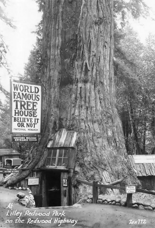 Curiosity shop inside Giant Redwood tree
