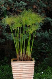 Container Gardening Ideas Cyperus papyrus growing in a water filled terracotta pot.