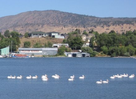Pelicans on Klamath Lake, Klamath Falls, Oregon