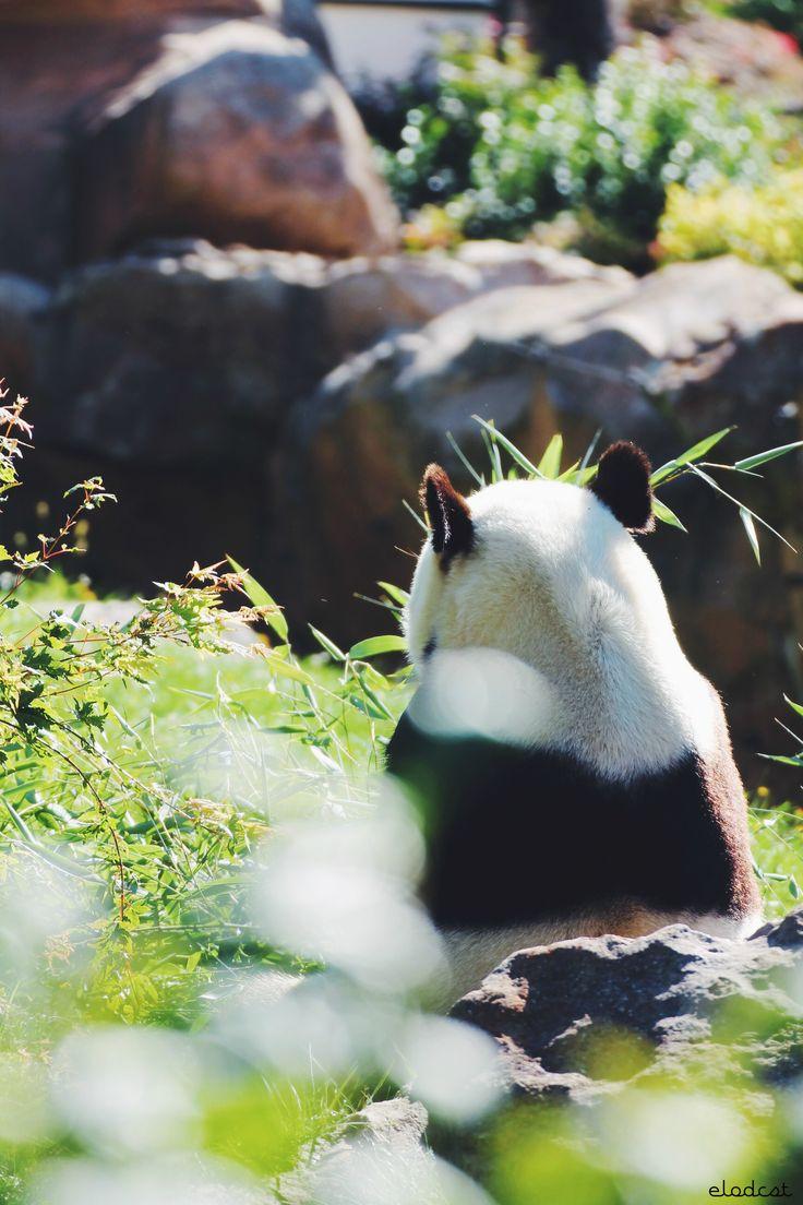 Yuan Zi, panda géant au ZooParc de Beauval #zoobeauval #panda #valdeloire #destinationbeauval #saintaignan