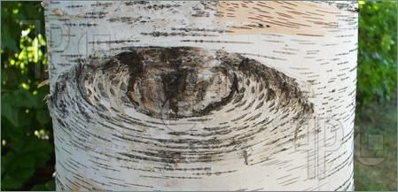 Birch Tree Looking At You Image