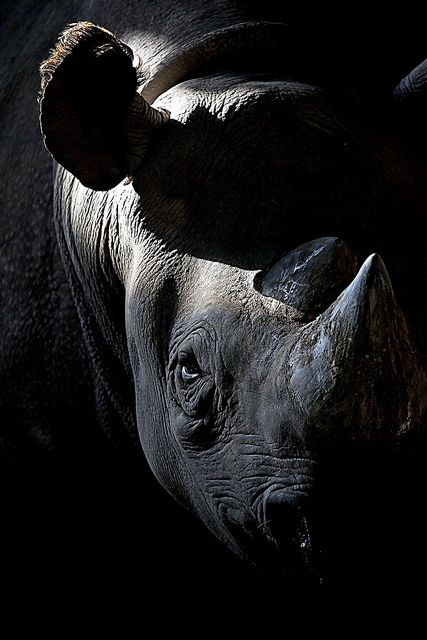 Black Rhino by Stuart Robertson Reynolds 2010-10 as sparky2000  on Flickr 6919971805 •photo on Canon EOS 5D Marke II