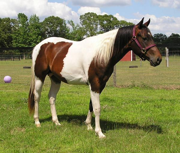 THOROUGHBRED PAINT PINTO - Google Search