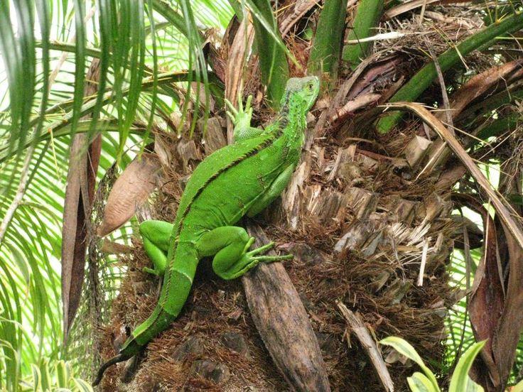 #costa roca #lizard