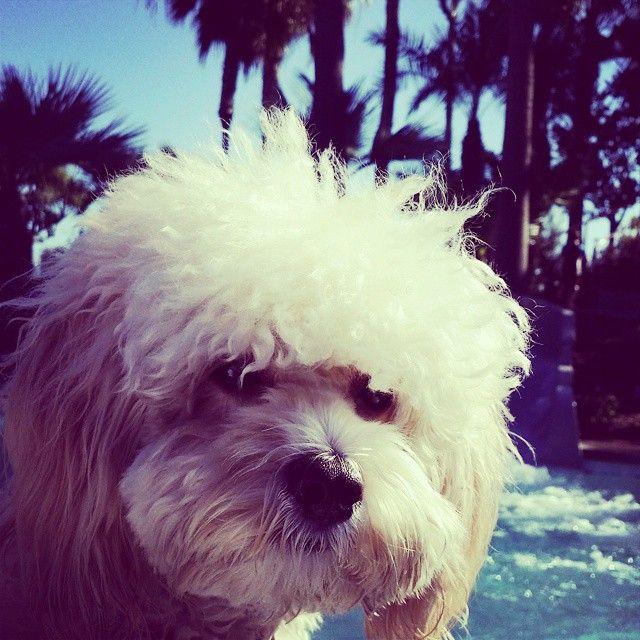 We are big fans of Beige staying with Hyatt Regency Huntington Beach. #PetsofHyatt