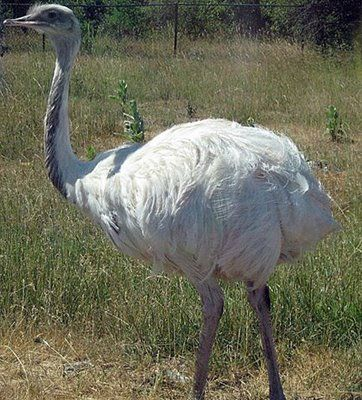 Albino Ostrich