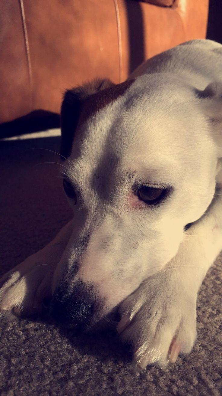 My Jack Russell, Juno