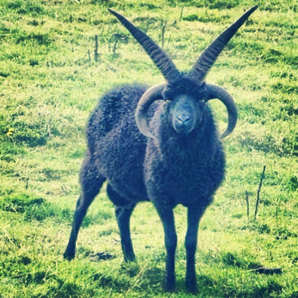 satan goat!