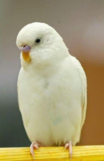 White Baby Parakeet 756 best Color mutatio...
