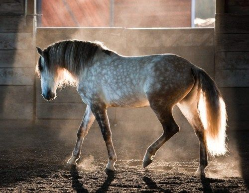 The Spaniard - those beautiful dapples. #horse http://www.annabelchaffer.com/categories/Equestrian-Gifts/