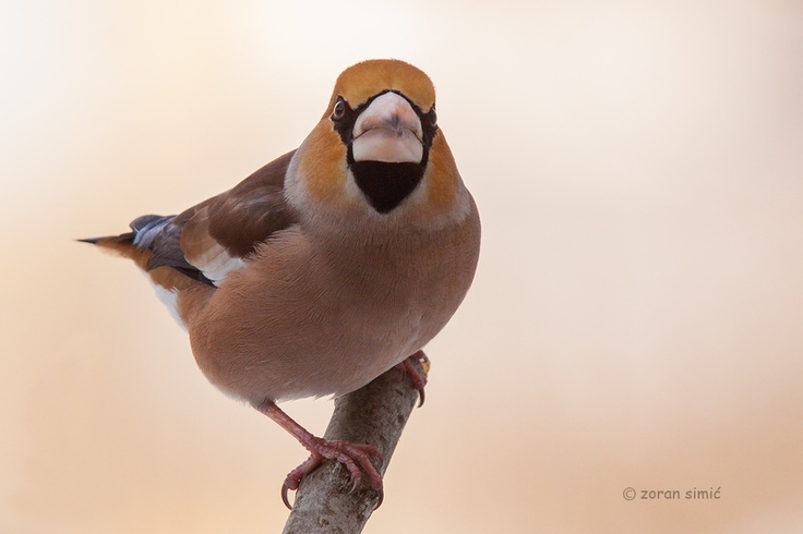 Coccothraustes coccothraustes (Hawfinch)