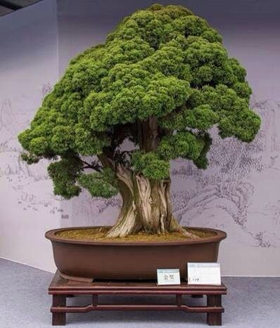 485 besten bonsai und bonbai bilder auf pinterest bonsai. Black Bedroom Furniture Sets. Home Design Ideas