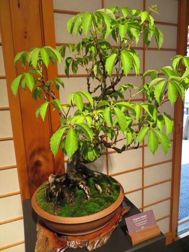 Японский бонсай