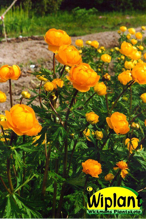 Trollius, trädgårdssmörboll. Orangea blommor.