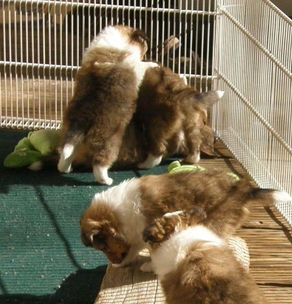 Texas Sheltie Breeders Sheltie Pups Shetland Sheepdog Puppy Lockehill Shelties Puppy Page In 2020 Sheltie Sheep Dog Puppy Shetland Sheepdog Puppies