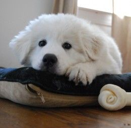 A Great Pyrenees puppy. Soon I'll have one and it will be the cutest livestock guys guardian ever