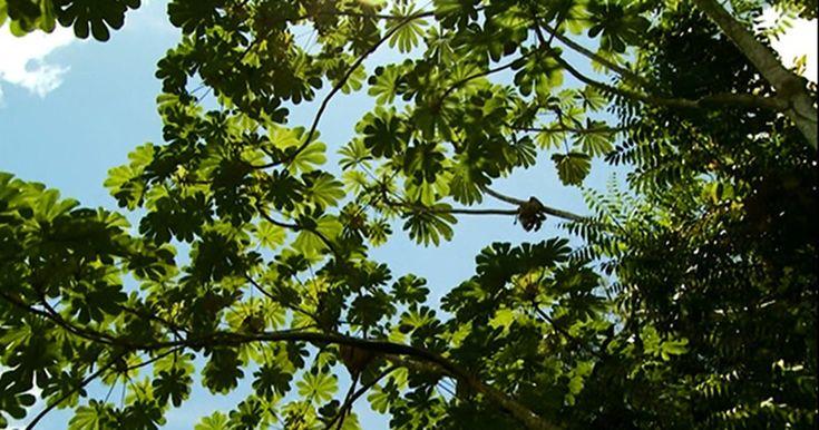 Embaúba regenera florestas desmatadas e garante comida às aves