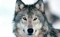 Wolf Spirit Symbols: Teaching, Guidance, Loyalty, Intuition, Discipline, Order, Community, Freedom, Guardianship, Prudence, Respect, Communication, Patience, Teamwork