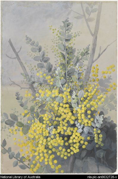From National Library of Australia collection.  Rowan, Ellis, 1848-1922.  Acacia podalyriifolia, A. Cunn ex G. Don, family Fabaceae, Mount Morgan wattle or the Queensland silver wattle, Queensland, ca. 1885 [picture]  [188-?] 1 painting : watercolour ; 53.5 x 35.7 cm. (s.m.)  Part of Flower and bird paintings [picture] [ca. 1870-ca. 1921]   http://www.nla.gov.au/apps/cdview/?pi=nla.pic-an6632728      nla.pic-an6632728