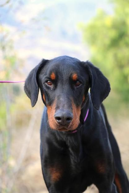 FILLMORE, CA. <3 Titan is an adorable Dobie boy w/ big, brown eyes that will melt your heart.  He was a bit shy at the animal shelter but with some patience, he has blossomed into a playful and affectionate sweetheart.  He is probably about 3 years old and would probably make a great addition to any household.  We even think he would probably be good with kids.  He is very dog social but will occasionally rub another male dog the wrong way so female canines would make better companions for…