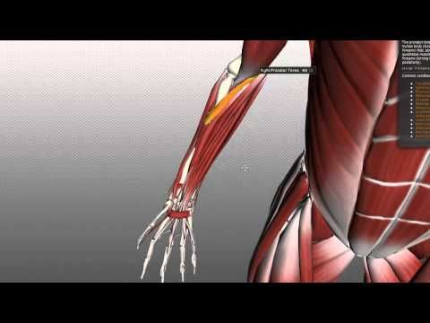 Forearm Muscles Part 1 - Anterior (Flexor) Compartment - Anatomy Tutorial