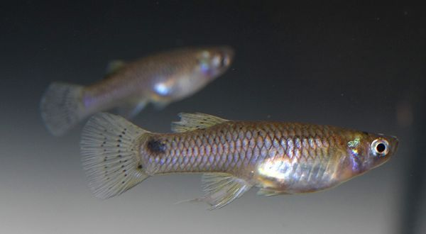 Mosquito Fish Top 10 Animals With Shorter Life Span In The World