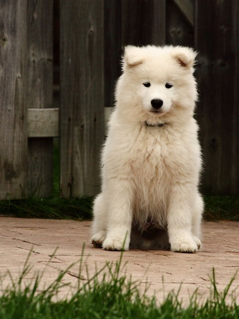 I want a Samoyed so bad !