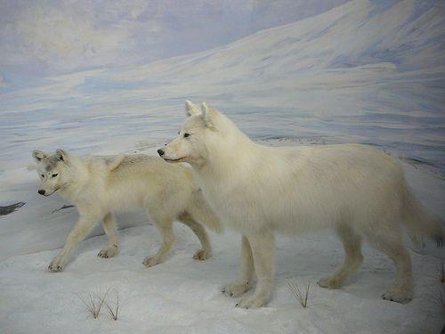 Animal em Risco - O Blog Selvagem!: Lobo Ártico                                                                                                                                                                                 Mais