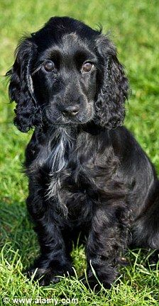 Duke and Duchess of Cambridge (Kate and Will) adopt a black cocker spaniel