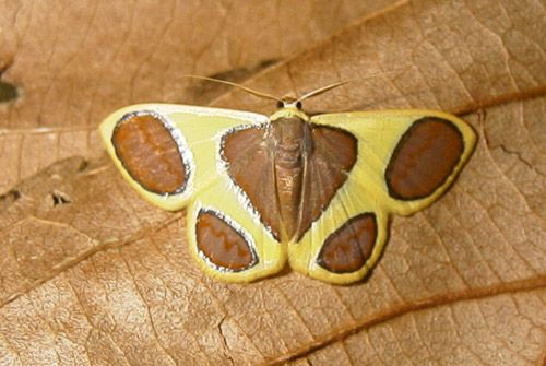 https://flic.kr/p/65ENUd | Plutodes malaysiana 28jul00 | Taman Negara, P. Malaysia