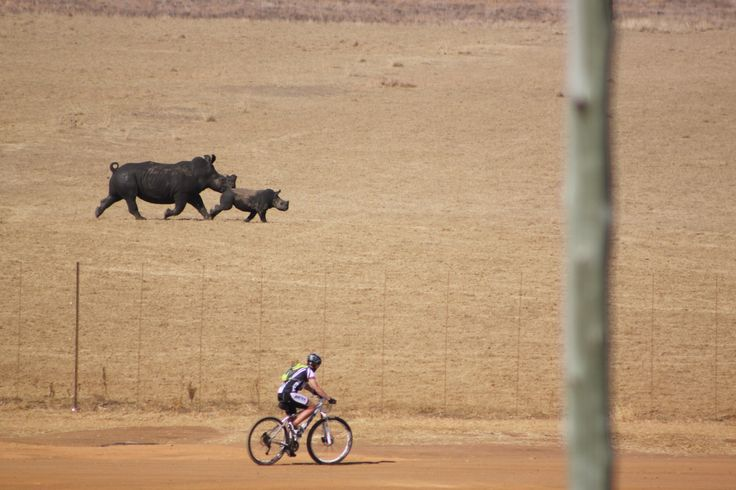 The Race - rhinos racing man to the finish line. I think there is a nice underlying symbolism to this, given the dire state of rhinos worldwide.