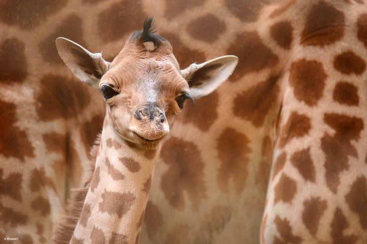 Karami, un mâle né le 3 mai 2016, est le petit dernier de notre groupe de girafes. Il s'agit du 33ème petit de Sacha, notre mâle dominant,  et du 4ème de Lazia, sa mère.