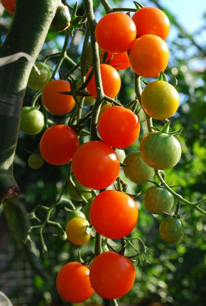 U0027Sungoldu0027 Cherry Tomatoes Are Vigorous, Early, And Prolific, Making Them A  Good Choice Even In Alpine And Cool Summer Gardens.